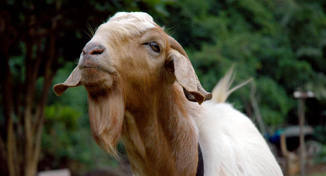 A Kauai Billy Goat