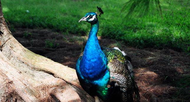 A Kauai Peacock
